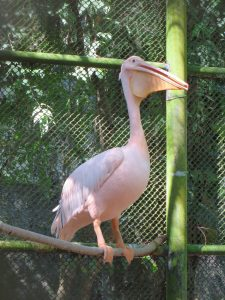 Pink pelican at Trivandrum Zoo