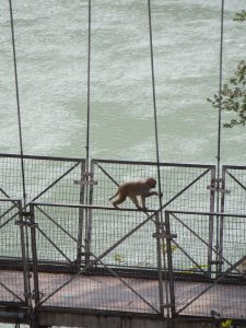 Monkey, Laxman Jhula