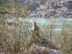 Monkey, Rishikesh