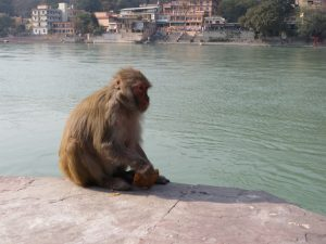 Macaque Rishikesh
