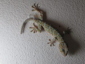 Gecko Koh Phangan