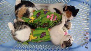 Cats in shirts Koh Phangan