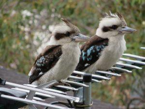 Kookaburras Australia